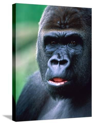 Gorilla-Frank Krahmer-Stretched Canvas Print