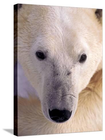 Polar bear-Kevin Schafer-Stretched Canvas Print