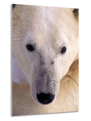 Polar bear-Kevin Schafer-Metal Print