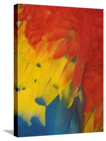 Scarlet Macaw Feathers-Bob Krist-Stretched Canvas Print