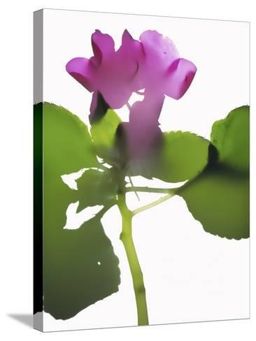 Purple Impatiens-Envision-Stretched Canvas Print