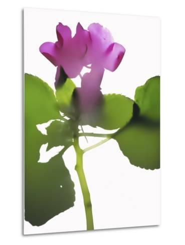 Purple Impatiens-Envision-Metal Print