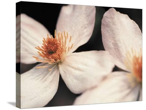 Close up of two white flowers against dark background--Stretched Canvas Print