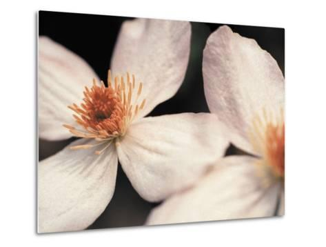 Close up of two white flowers against dark background--Metal Print