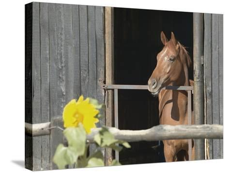 View of a horse in a stable--Stretched Canvas Print