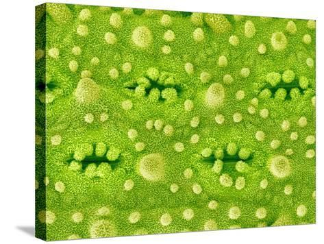Stomata on Rice Plant Leaf-Micro Discovery-Stretched Canvas Print
