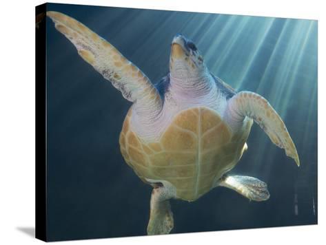 Turtle Swimming in Aquarium--Stretched Canvas Print