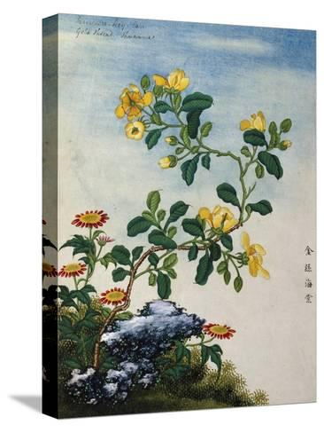 18th-Century Chinese Watercolor of Gold Thread Plant--Stretched Canvas Print
