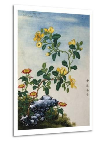 18th-Century Chinese Watercolor of Gold Thread Plant--Metal Print