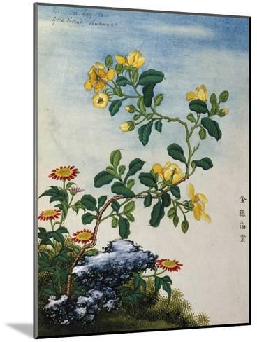 18th-Century Chinese Watercolor of Gold Thread Plant--Mounted Giclee Print