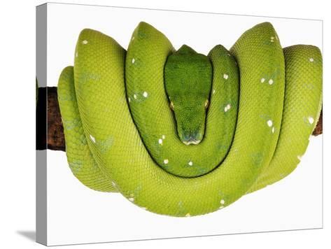 Green Tree Python-Martin Harvey-Stretched Canvas Print