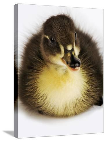 Call Duck Duckling-Martin Harvey-Stretched Canvas Print