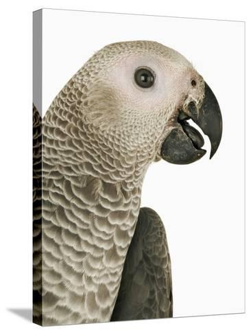 Grey Parrot-Martin Harvey-Stretched Canvas Print