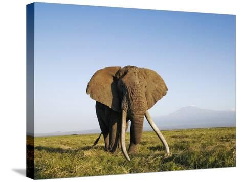 African Elephant with Large Tusks-Martin Harvey-Stretched Canvas Print