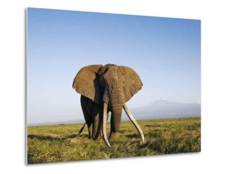 African Elephant with Large Tusks-Martin Harvey-Metal Print
