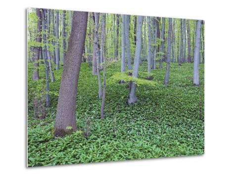 Trees in Forest-Frank Lukasseck-Metal Print