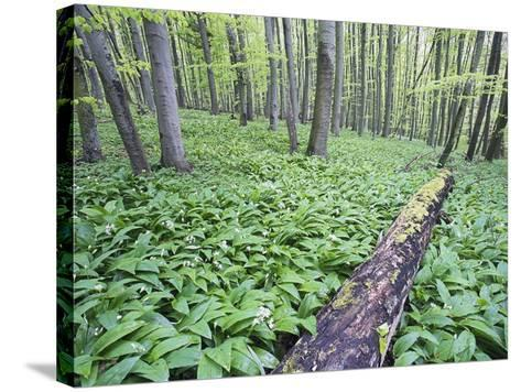 Trees in Forest-Frank Lukasseck-Stretched Canvas Print
