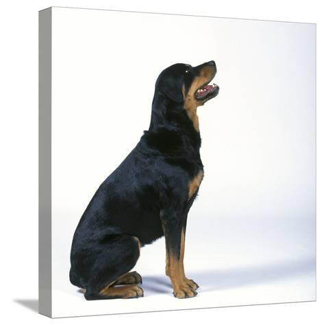 Rottweiler--Stretched Canvas Print