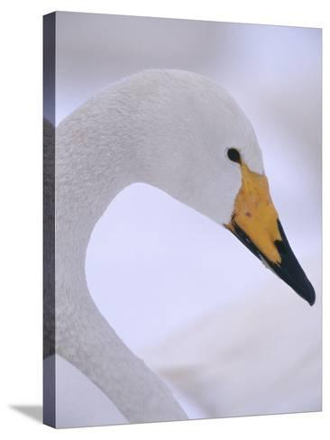 Whooper Swan--Stretched Canvas Print