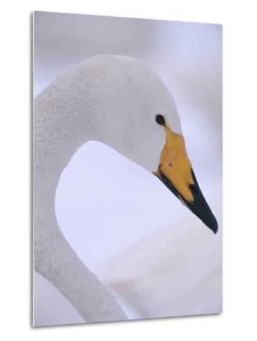 Whooper Swan--Metal Print