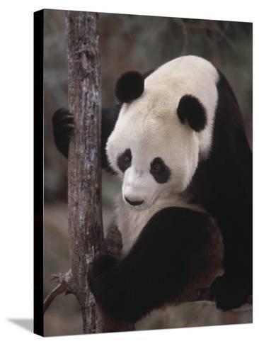 Panda Climbing Tree--Stretched Canvas Print