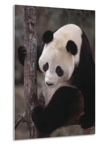 Panda Climbing Tree--Metal Print