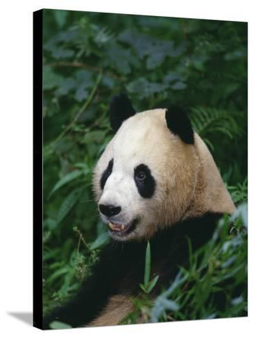 Giant Panda in Forest--Stretched Canvas Print