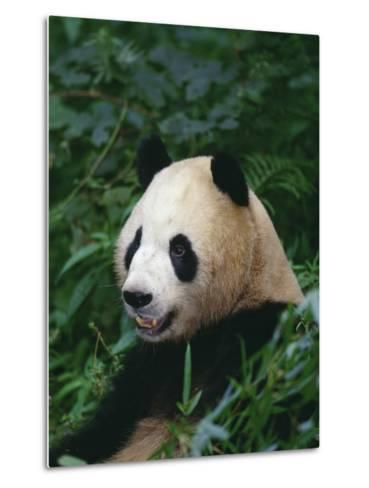 Giant Panda in Forest--Metal Print