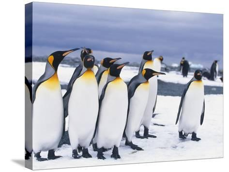 King Penguins--Stretched Canvas Print