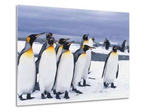 King Penguins--Metal Print
