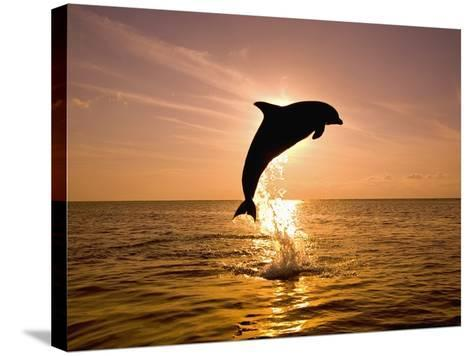 Dolphin Breaching at Sunset-Craig Tuttle-Stretched Canvas Print
