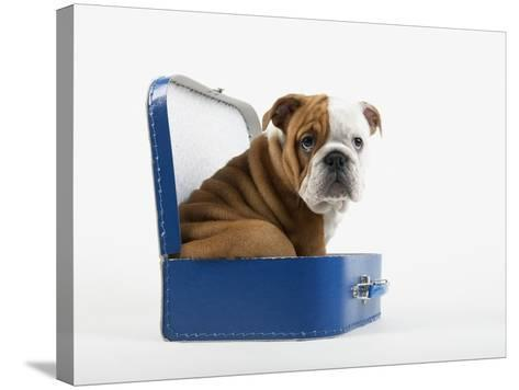 English Bulldog Puppy Sitting in a Lunch Box-Peter M^ Fisher-Stretched Canvas Print