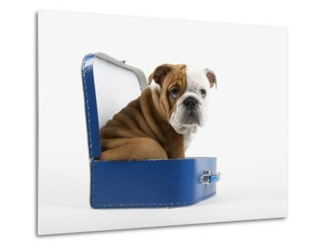 English Bulldog Puppy Sitting in a Lunch Box-Peter M^ Fisher-Metal Print