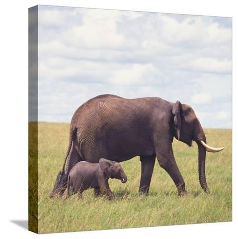 African Elephant Calf with Mother in Savanna--Stretched Canvas Print