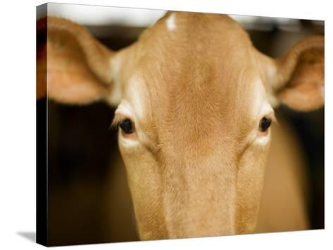 Head of Cow-Chris Carroll-Stretched Canvas Print
