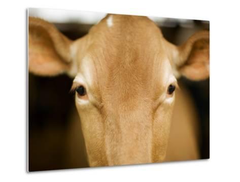 Head of Cow-Chris Carroll-Metal Print