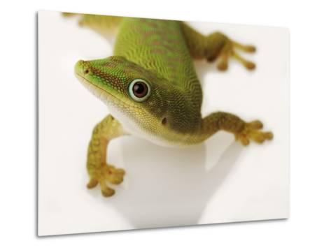 Day Gecko-Martin Harvey-Metal Print