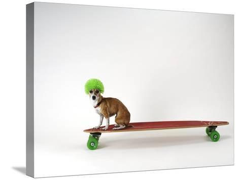 Chihuahua on a Skateboard-Chris Rogers-Stretched Canvas Print
