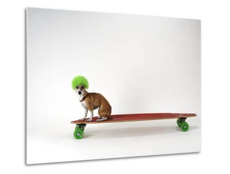 Chihuahua on a Skateboard-Chris Rogers-Metal Print