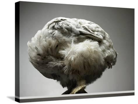 Chicken-Adrianna Williams-Stretched Canvas Print