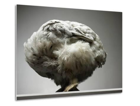 Chicken-Adrianna Williams-Metal Print