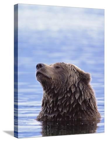 A Brown Bear Emerges from a Lake-John Eastcott & Yva Momatiuk-Stretched Canvas Print