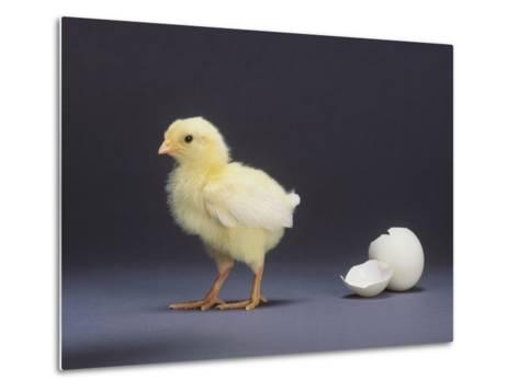 Leghorn Chick--Metal Print