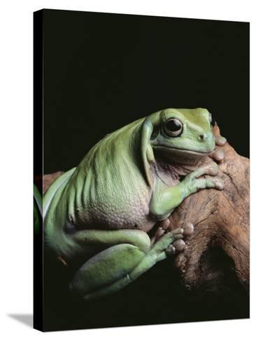 Green Tree Frog--Stretched Canvas Print