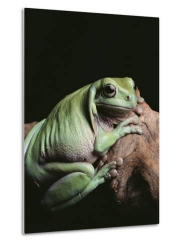 Green Tree Frog--Metal Print