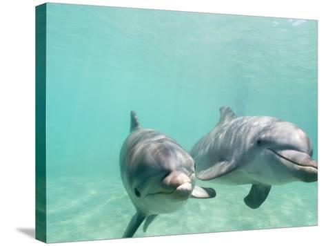 Bottlenose Dolphins-Stuart Westmorland-Stretched Canvas Print