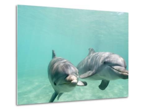 Bottlenose Dolphins-Stuart Westmorland-Metal Print
