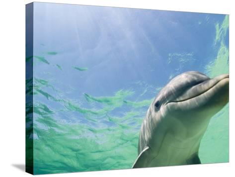 Bottlenose Dolphin-Stuart Westmorland-Stretched Canvas Print
