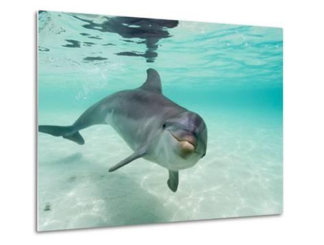 Bottlenose Dolphin-Stuart Westmorland-Metal Print