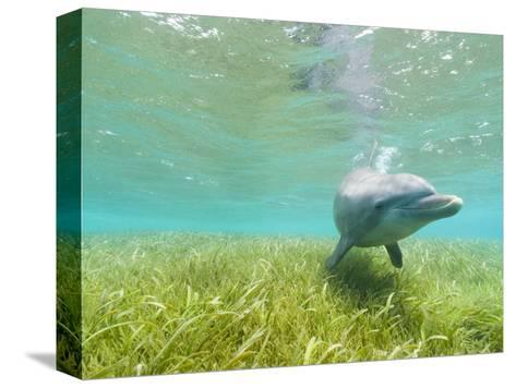 Bottlenose Dolphin-Stuart Westmorland-Stretched Canvas Print